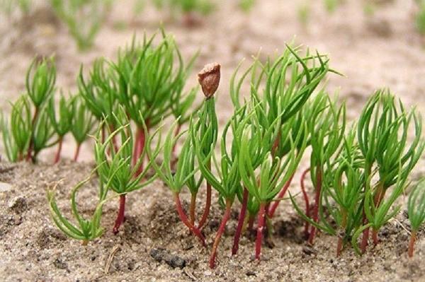 пихта из семян