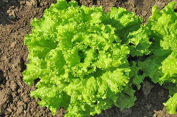 польза и вред салата латук