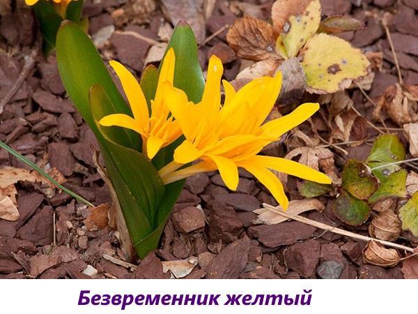 безвременник желтый
