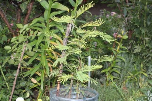 укорененные стеблевые черенки