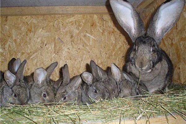 самка с крольчатами