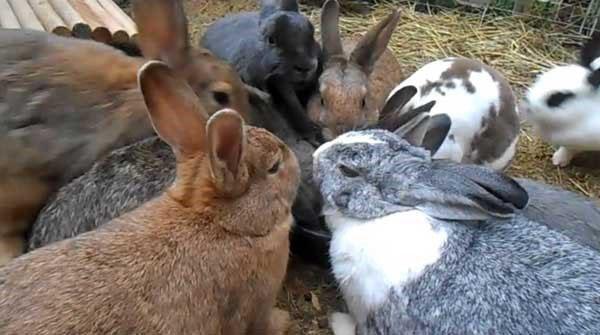 комфортное содержание кроликов
