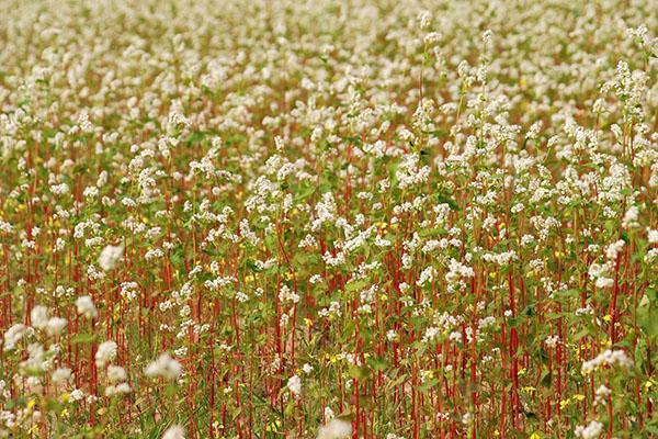 цветет гречиха