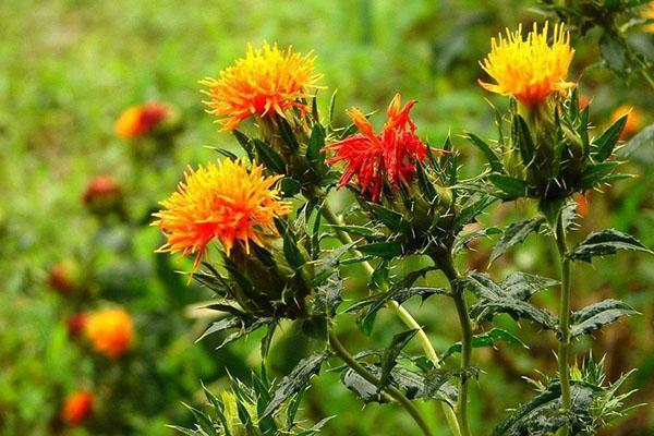 технология выращивания сафлора