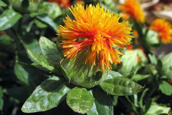 цветение сафлора