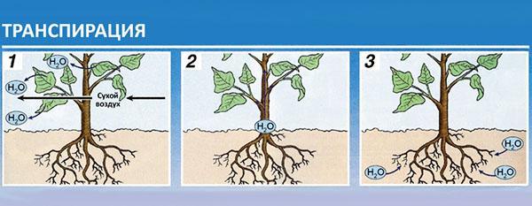 влагообмен у растений