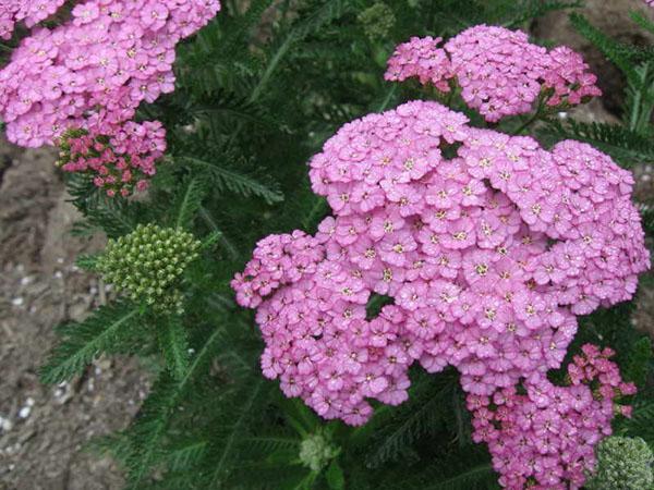красивые соцветия тысячелистниа