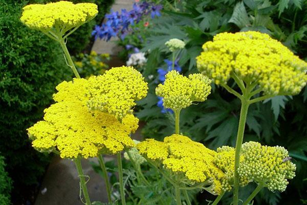 желтые соцветия тысячелистника
