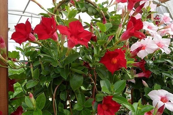 крупные яркие цветы дипладении
