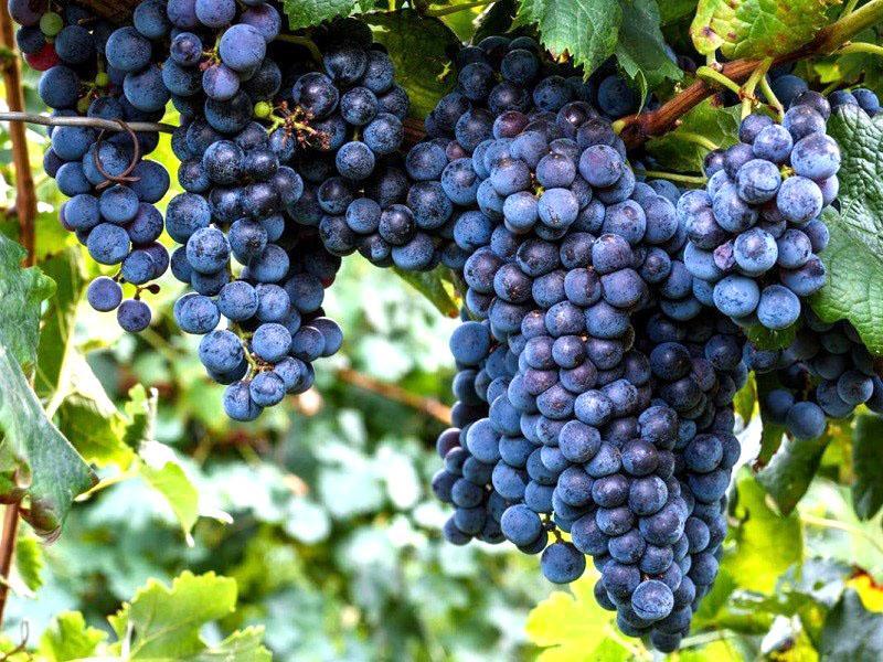 виноград сорта Изабелла