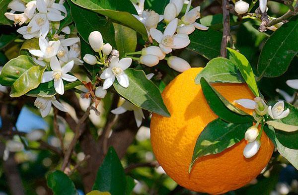 цветет домашний апельсин