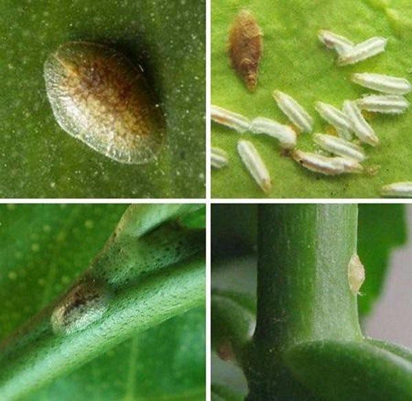щитовка на цитрусовых растениях
