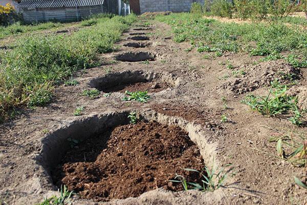 подготовка ям для посадки черники