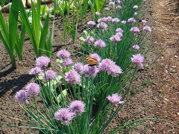 цветет лук шнитт
