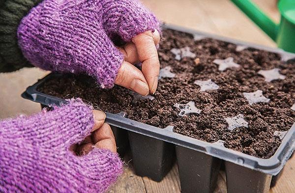 посев семян лука слизун