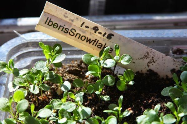 выращивание рассады ибериса