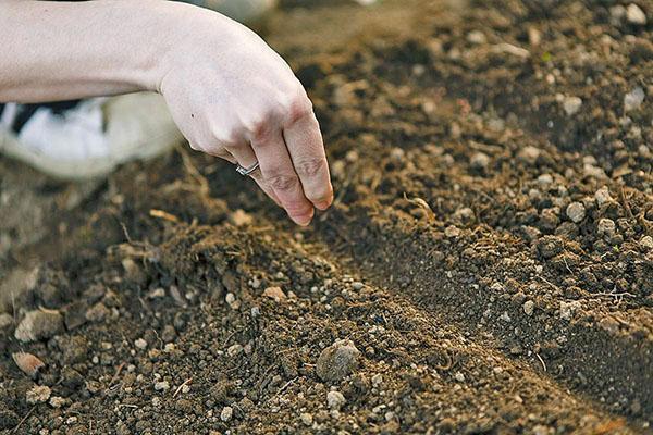 посев семян салата ромэн в открытый грунт