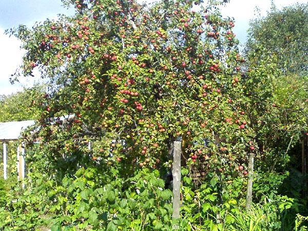 яблоня серебряное копытце в саду