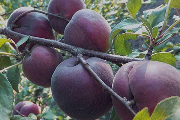 абрикос черный бархат