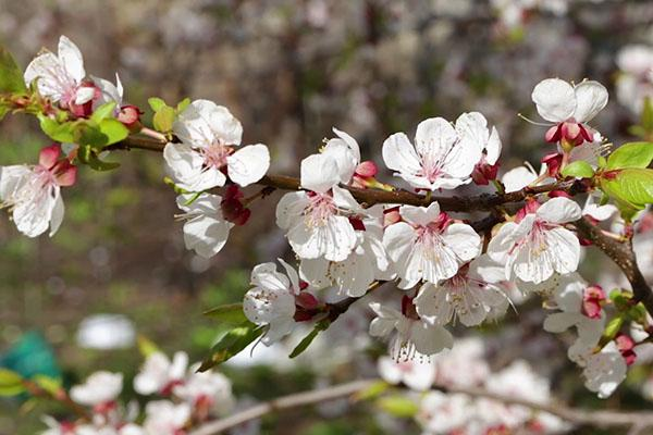 цветет абрикос черный бархат