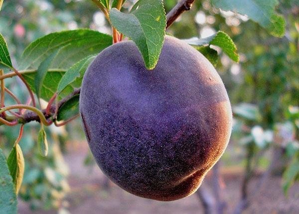 созрел черный абрикос