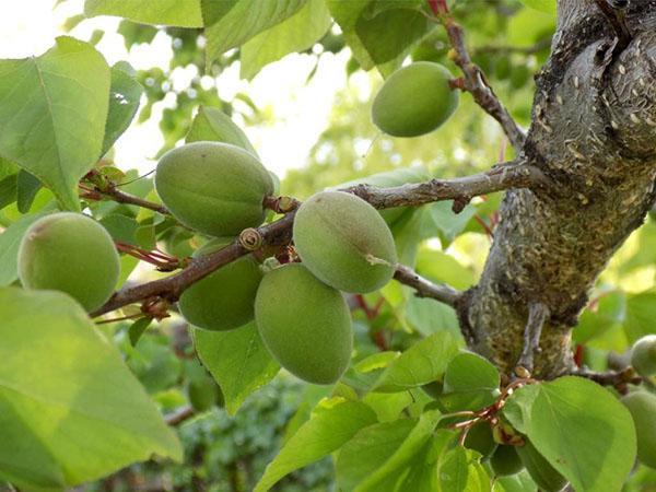зеленые абрикосы