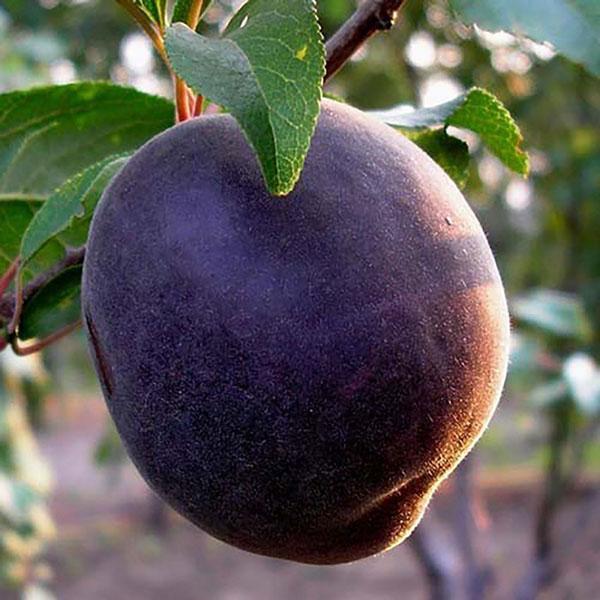 абрикос Черный принц