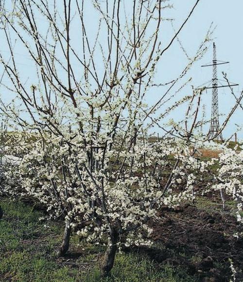дерево абрикосоалычи