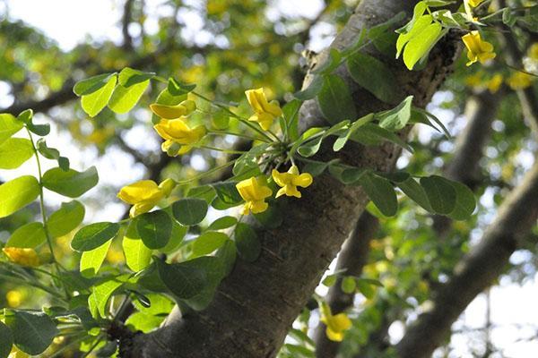 цветет желтая акация