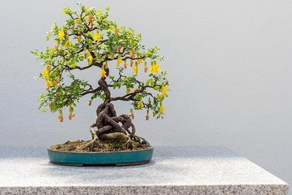 бонсай из караганы
