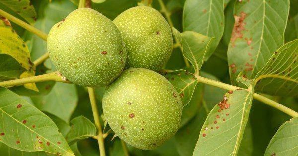 Почему чернеют плоды грецкого ореха на дереве