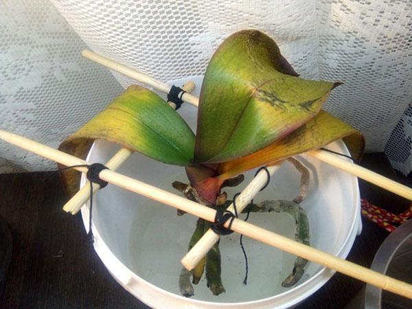 гетероауксин для орхидей