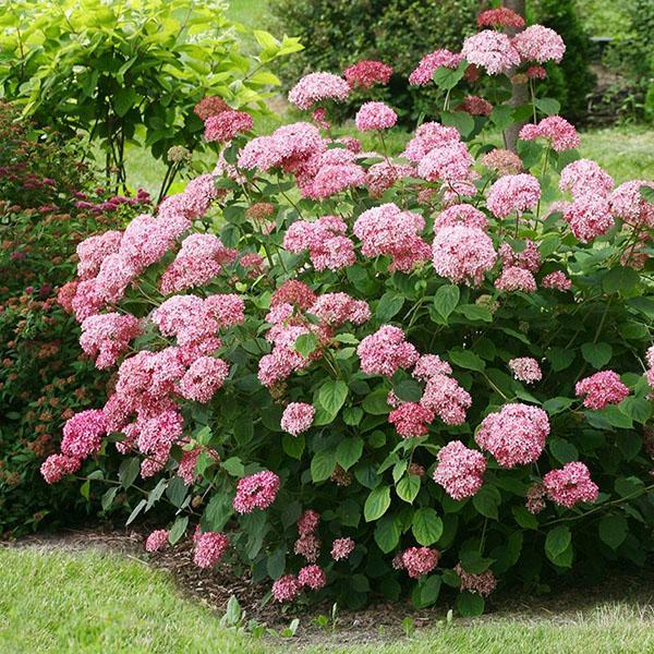 Розовая гортензия Пинк Аннабель