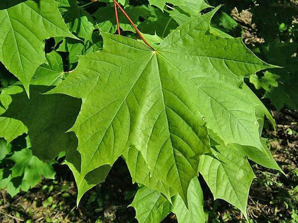 дланевидные листья клена