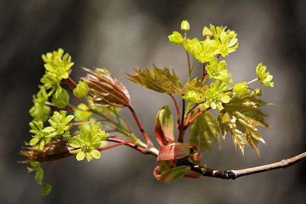 цветение остролистного клена