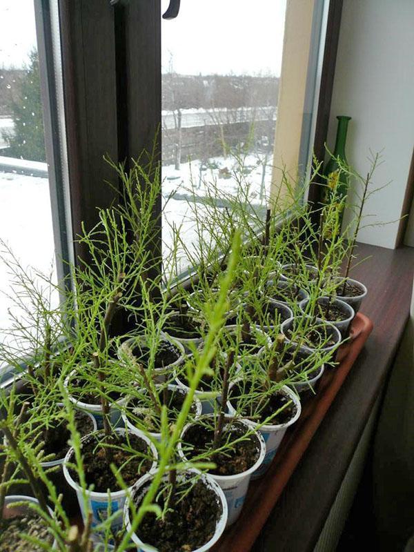 выращивание саженцев тамарикса