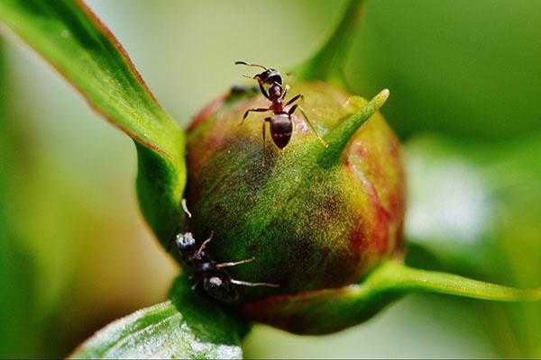 муравьи на цветке