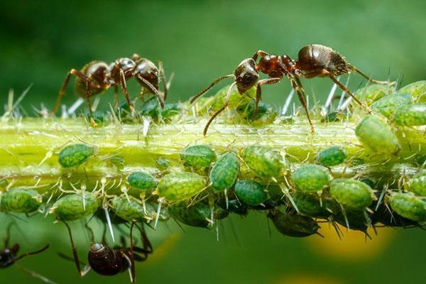 муравьи поедают тлю