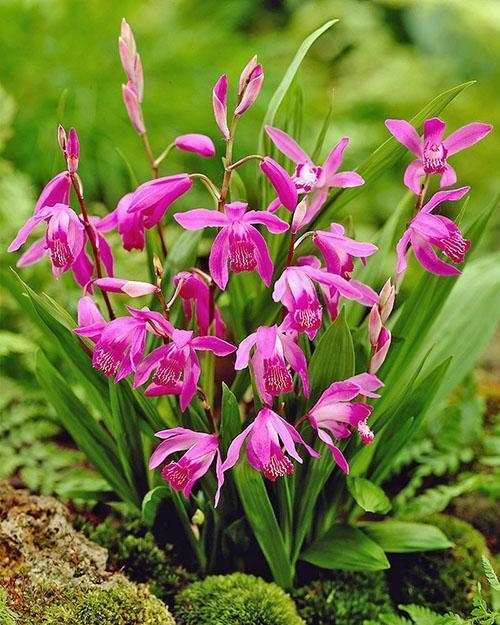 орхидея блетилла посадка и уход