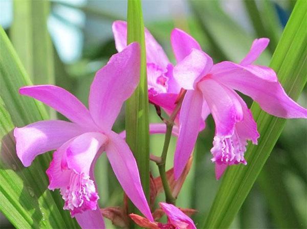 цветение орхидеи блетилла