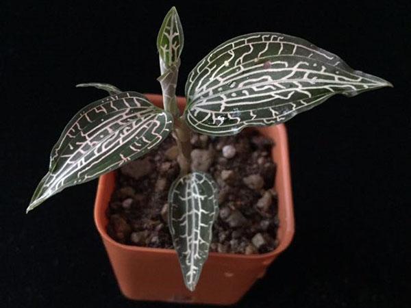 молоденькая орхидея