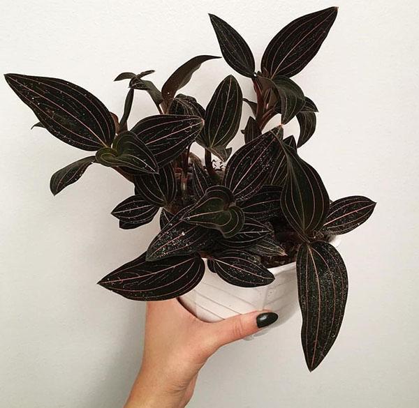 выращивание орхидеи лудизия