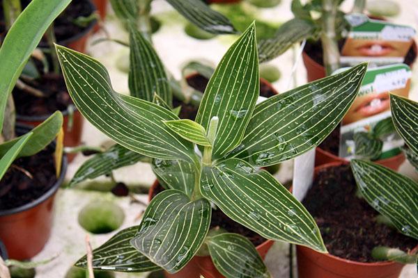 влажность для орхидеи