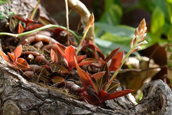активный рост орхидеи лудизия