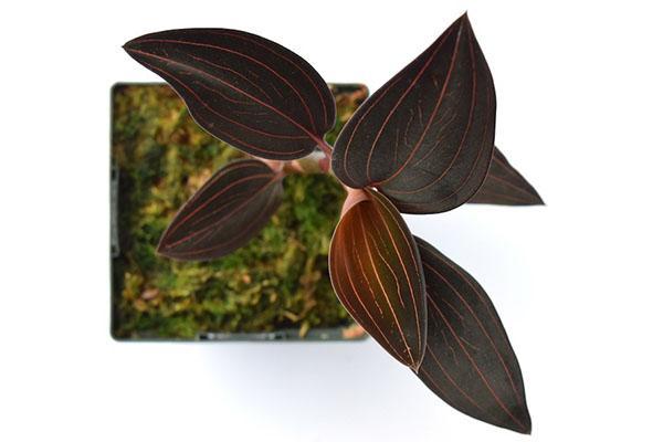размножение орхидеи лудизия
