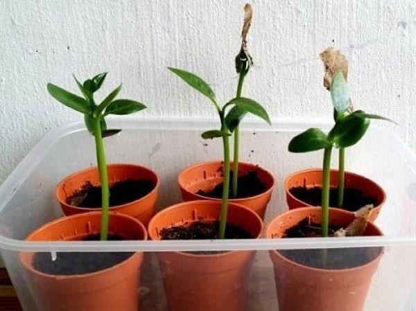 Как выращивать плюмерию в домашних условиях?