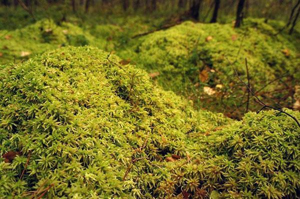 мох сфагнум в природе