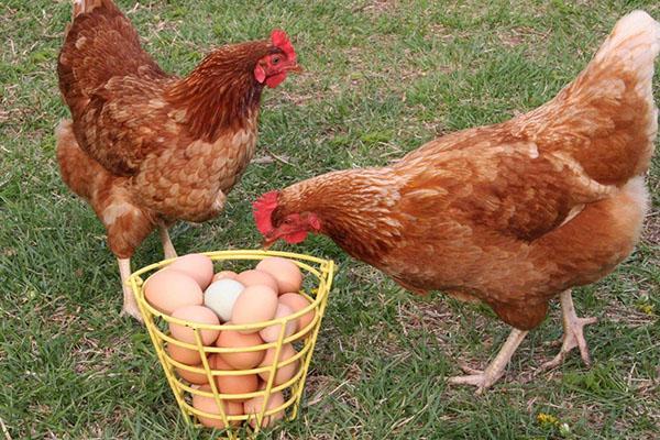 отличная яйценоскость