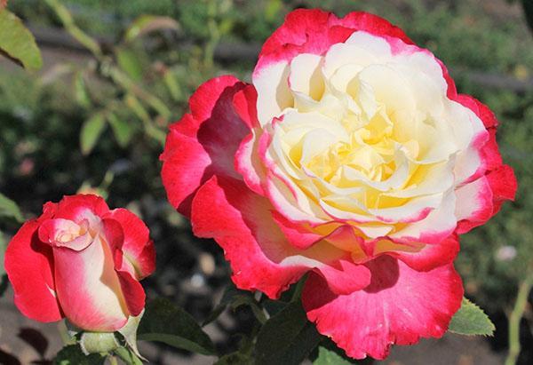 чайно-гибридная роза Дабл Делайт