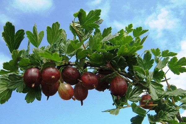 выращивание крыжовника сорта Колобок